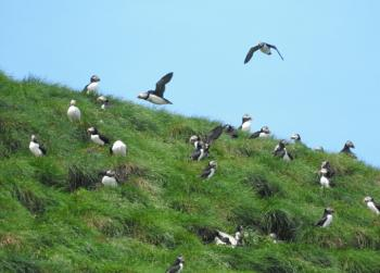 Lots of Puffins at home today!