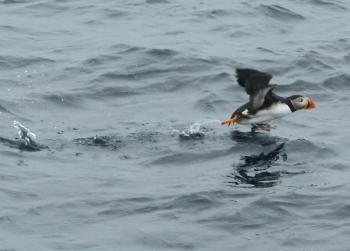 Lots of Puffins here this morning, and also Humpback Whales!