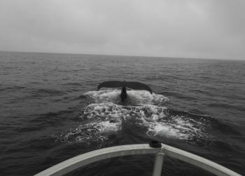 Many Humpback Whales, Shearwaters and Puffins are feeding together out here again this morning!