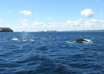 Many Humpback Whales and Minke Whales out here today!