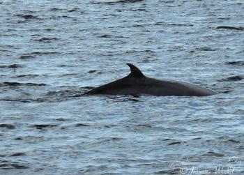 Minke Whale, August 29th 2017