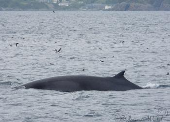 Minke Whale, July 13th, 2019