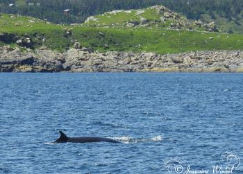 Minke Whale, July 4th 2018