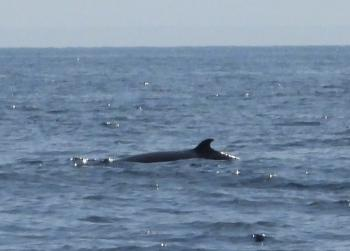 Minke Whale, June 25th 2019