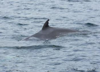Minke Whale June 29th 2019