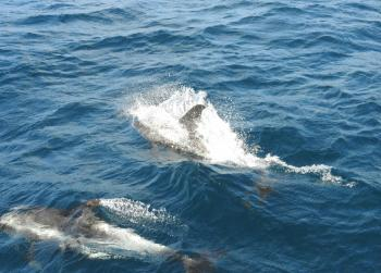 Playfully dolphins coming for a bow ride now!
