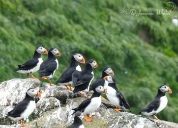 Puffins, July 11th 2018