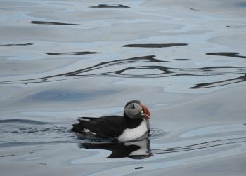 Puffins are getting their share of the capelin feast