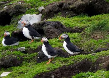 Puffins on Pee Pee Island, June 18th