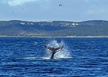Super playful Humpback Whale calf with mom out here this morning!