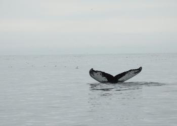Water like glass, 20  Humpback Whales and Minke Whales feeding and Puffins everywhere, what more can you ask for