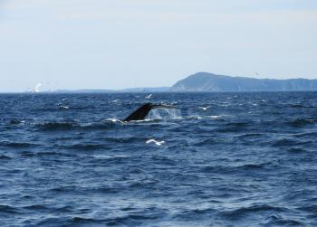 What a feeding frenzy out here this morning! 20  Humpback Whales