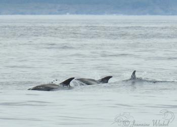 White beaked Dolphins, July 20st 2018