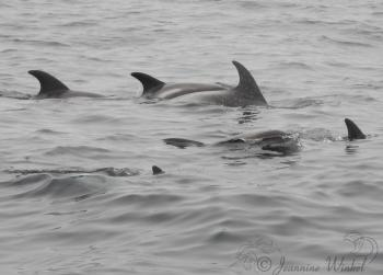 White beaked Dolphins, July 25th 2019