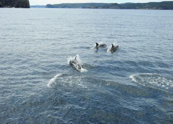 Whoa!!! We just had a school of 50  Atlantic White Sided Dolphins