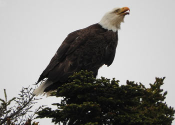 Bald eagle Newfoundland