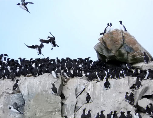 Atlantic Murres