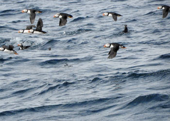 Flocks of puffins