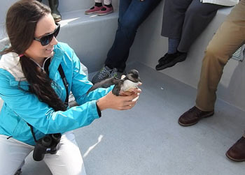 Puffin Patrol rescues baby puffins