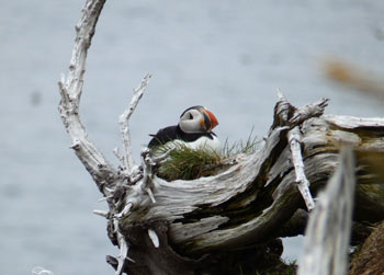 Puffins nest on islands
