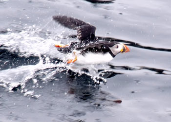 St. John's puffin boat tour