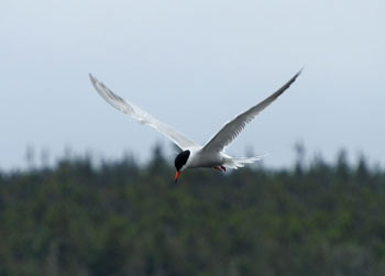 Tern bird watching