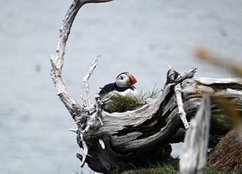 Newfoundland puffin tour